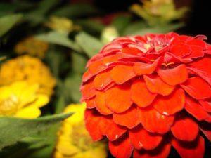 close-up zinnia