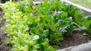 raised bed salad greens